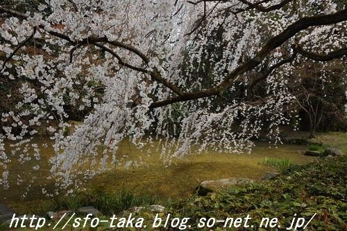 110403近衛邸跡糸桜1.jpg
