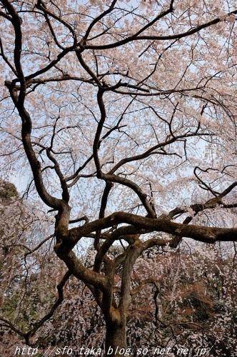110403近衛邸跡糸桜2.jpg