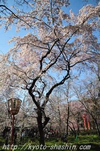 110406平野神社彼岸しだれ5ab.jpg