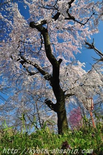 110406平野神社彼岸しだれ桜z.jpg