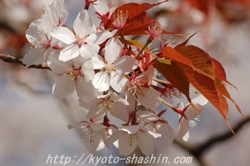 110406平野神社雪山桜z.jpg