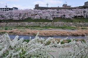110409高野川4 .jpg