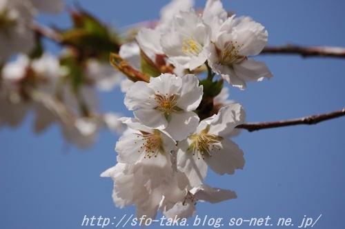 1104103代目墨染桜2 [].jpg