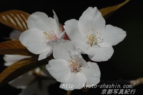 11041308宗像神社左近の桜.jpg