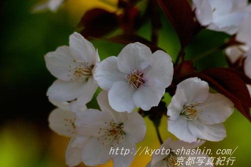 11041308宗像神社左近の桜3 .jpg
