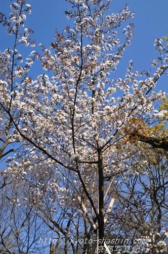 11041308宗像神社左近の桜4 .jpg